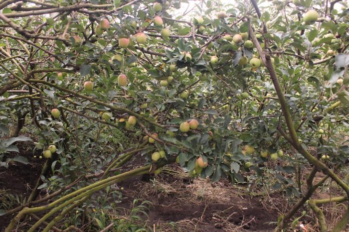 Apel Manalagi yang siap dipetik ini menjadi buruan pengunjung karena rasanya yang manis.